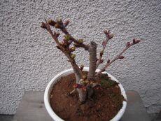 一才桜 咲くのが楽しみ♪_e0099359_131274.jpg