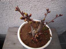 一才桜 咲くのが楽しみ♪_e0099359_1322943.jpg