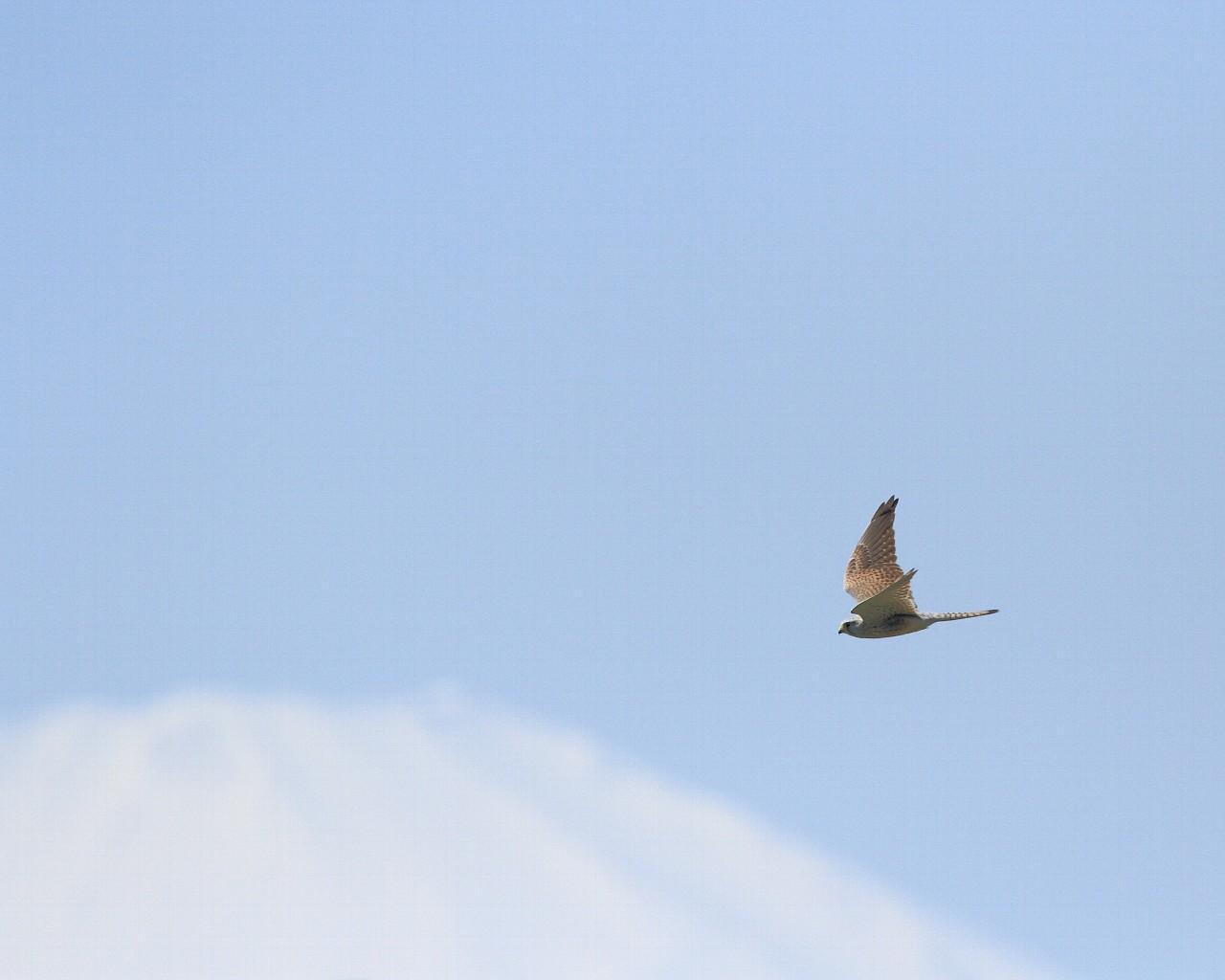 富士山背景に大陸型(?)チョウゲンボウ(巷ではチョウセンチョウゲンボウと言われていますが?)_f0105570_21202696.jpg