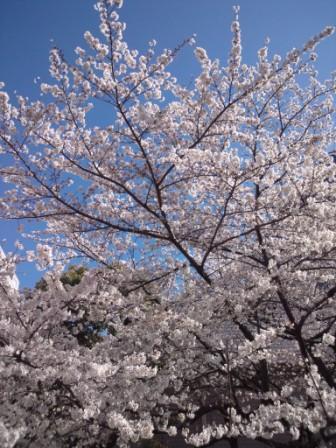 桜、満開です♥_a0138976_15345580.jpg