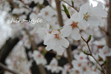 桜待ち_c0128886_9353891.jpg