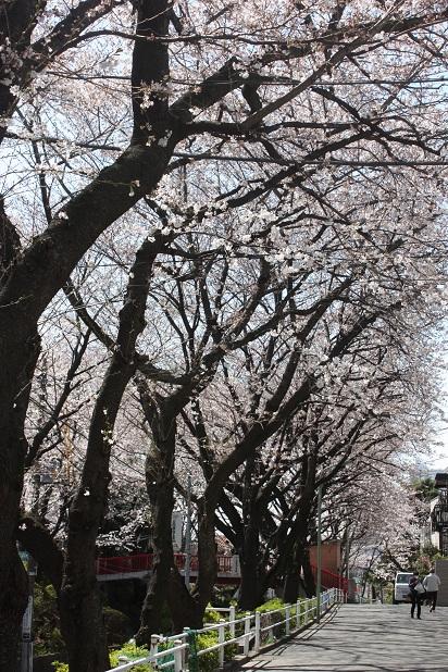 桜咲く!桜アイスと本蕨もち_c0248011_0215912.jpg