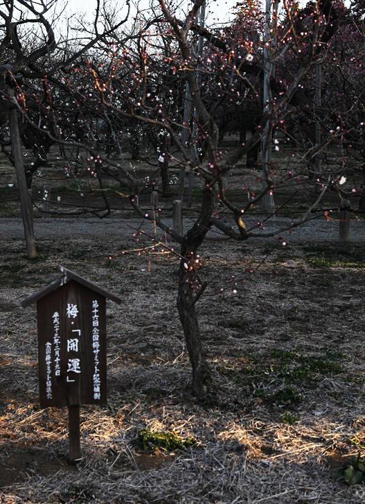 茨城県水戸市 偕楽園「梅祭り}_d0106628_8444664.jpg