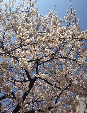 広尾、明治通りの桜2013_f0165332_1522097.jpg
