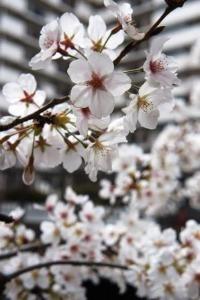 桜のお花見_a0163160_23411749.jpg