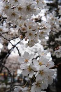 桜のお花見_a0163160_23412640.jpg
