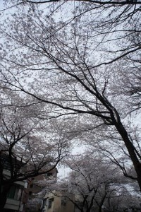桜のお花見_a0163160_2342351.jpg