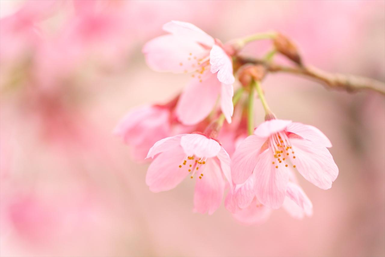 寒緋桜_f0018464_8453811.jpg
