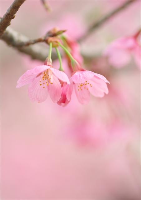 寒緋桜_f0018464_847222.jpg