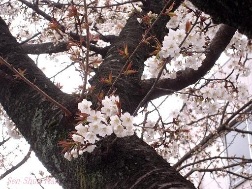 京都の桜 2013年3月23日_a0164068_2136046.jpg