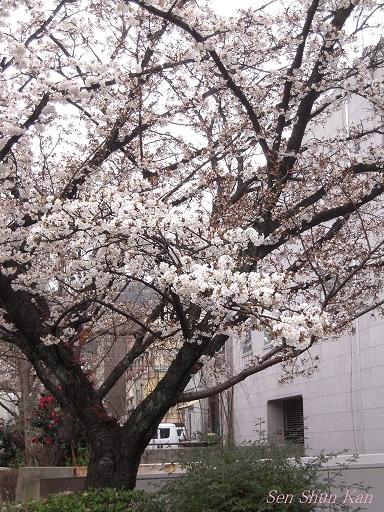 京都の桜 2013年3月23日_a0164068_21362220.jpg