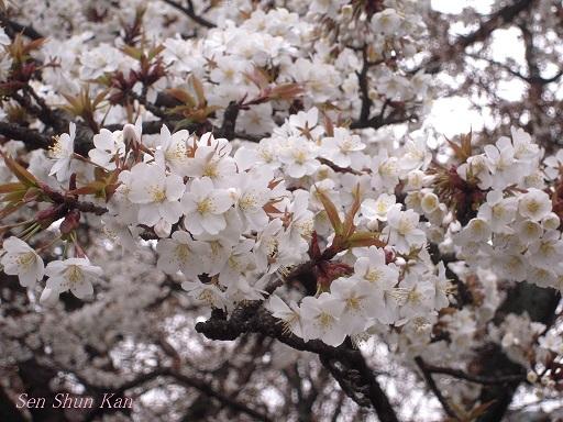 京都の桜 2013年3月23日_a0164068_21364645.jpg
