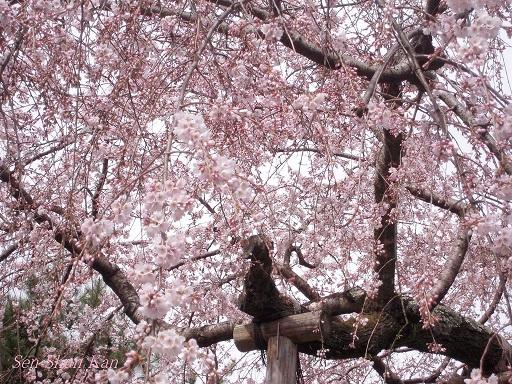 京都の桜 2013年3月23日_a0164068_21373597.jpg