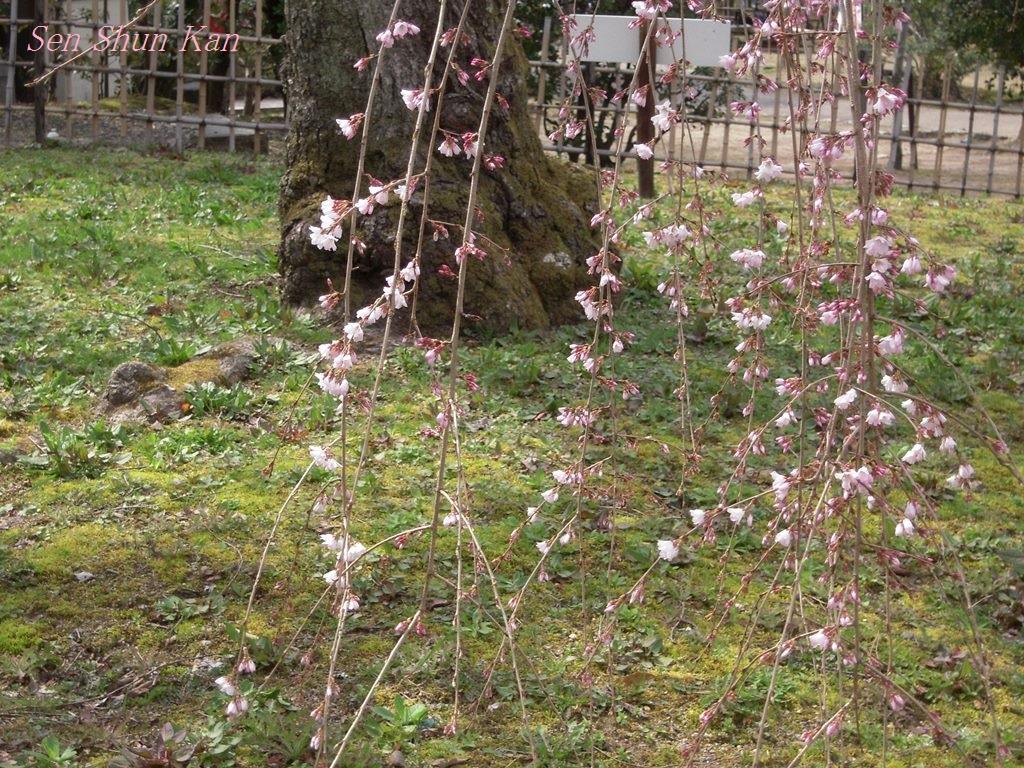 京都の桜 2013年3月23日_a0164068_21375978.jpg