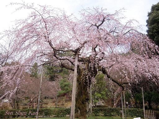 京都の桜 2013年3月23日_a0164068_2137621.jpg