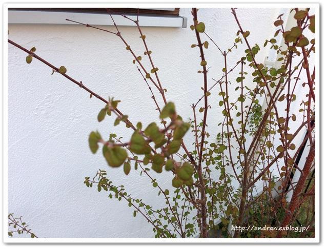 【ガーデニング】庭木たちが活動をはじめました。_c0176271_2343595.jpg