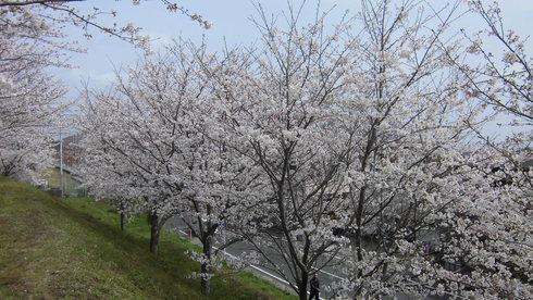桜満開!!_d0174072_14352587.jpg