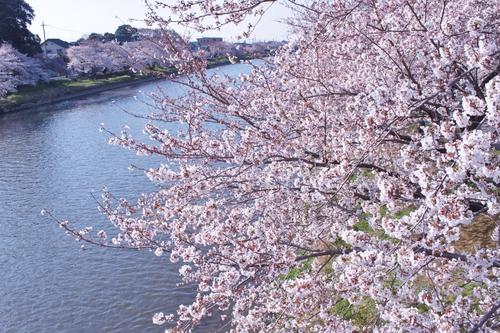☆桜☆_c0245679_19455743.jpg