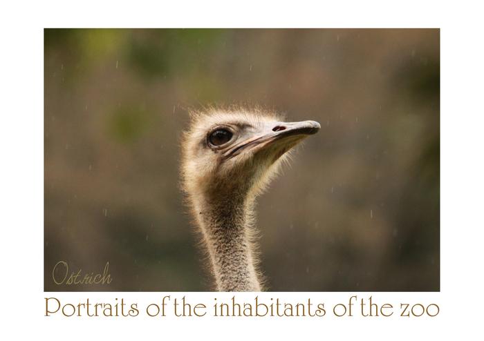 ダチョウ:Ostrich_b0249597_6243121.jpg