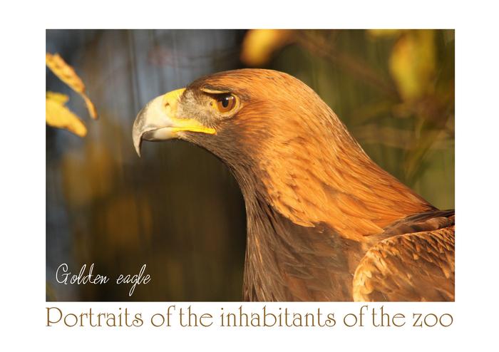 イヌワシ:Golden eagle_b0249597_6373475.jpg