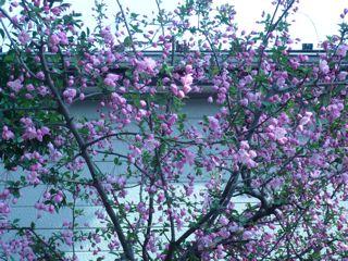 桃色の庭_c0203401_1512048.jpg