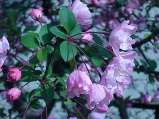桃色の庭_c0203401_152644.jpg