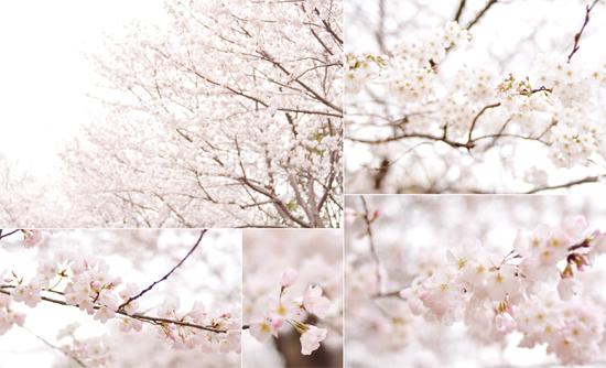 きょうのさくら (3月23日)_d0174704_1541210.jpg