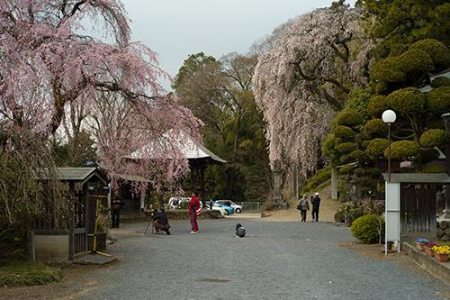 青梅の桜は満開です。梅岩寺と金剛寺のしだれ桜!_b0194208_2122197.jpg