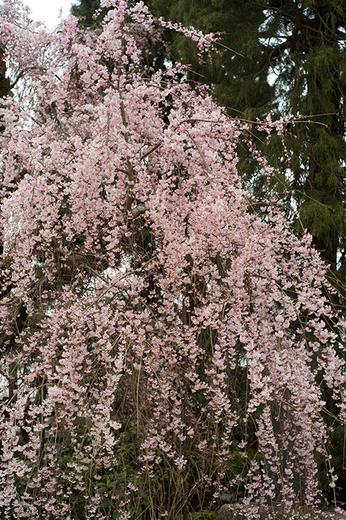青梅の桜は満開です。梅岩寺と金剛寺のしだれ桜!_b0194208_21222193.jpg