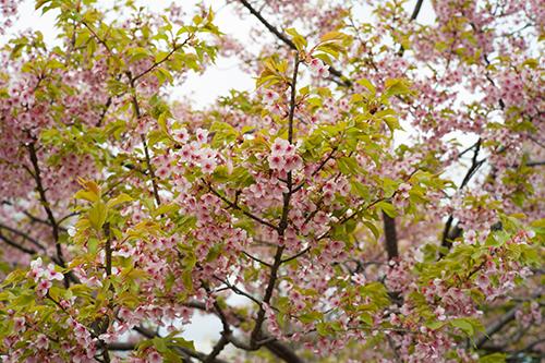 青梅の桜は満開です。梅岩寺と金剛寺のしだれ桜!_b0194208_21223540.jpg