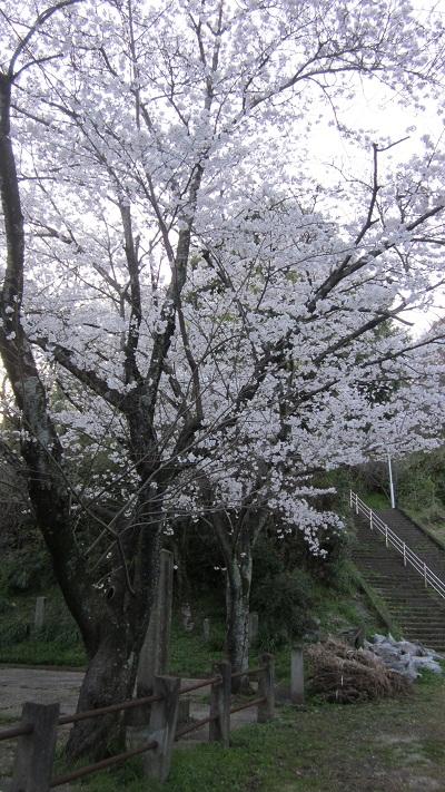 ❀❀~花岡山の桜~2013年3月❀❀_b0228113_11452098.jpg