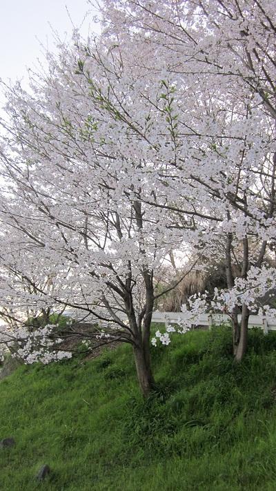 ❀❀~花岡山の桜~2013年3月❀❀_b0228113_11454118.jpg