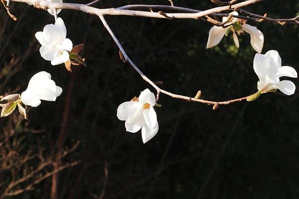 コブシの花と _f0214527_735291.jpg