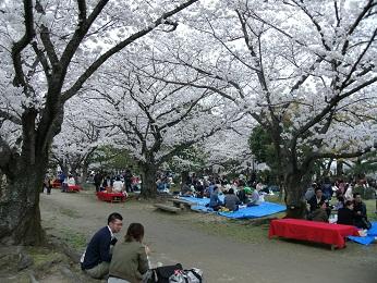 2013桜だ!花見だ!舞鶴公園!開催しました_e0149436_23365869.jpg