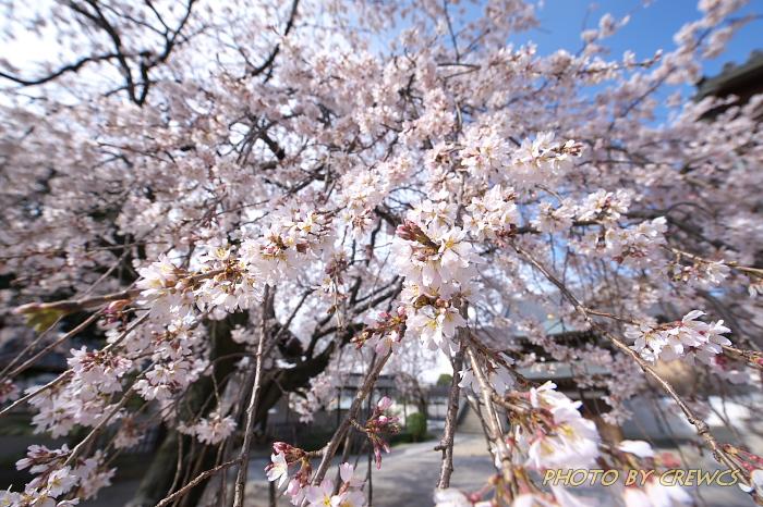 香積院の桜(2013年:桜咲く)_e0056449_2231673.jpg