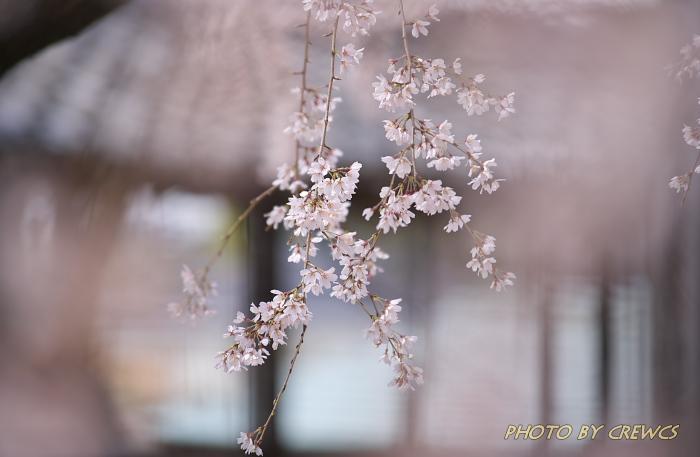 香積院の桜(2013年:桜咲く)_e0056449_2232784.jpg