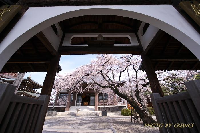 香積院の桜(2013年:桜咲く)_e0056449_223311.jpg