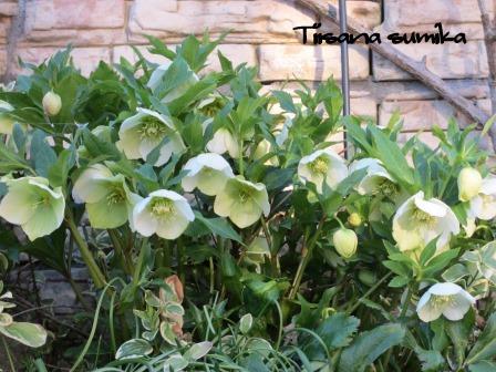 春めいてきた庭♪_a0243064_8154646.jpg