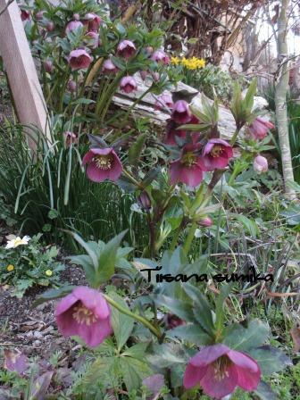 春めいてきた庭♪_a0243064_8163255.jpg
