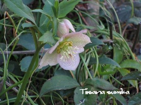 春めいてきた庭♪_a0243064_8172594.jpg
