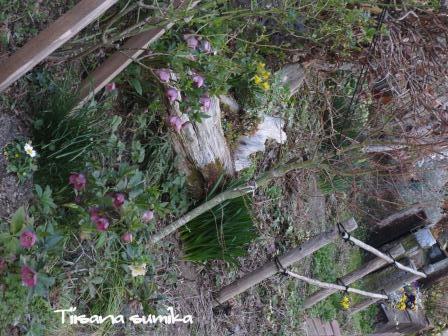 春めいてきた庭♪_a0243064_8183268.jpg