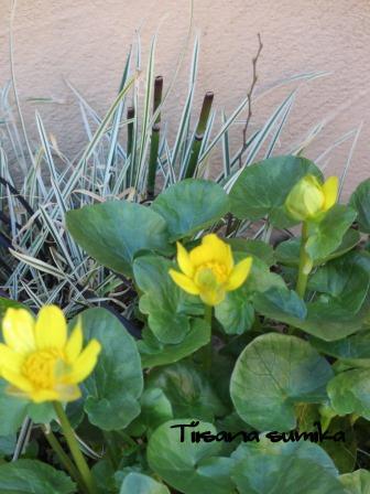 春めいてきた庭♪_a0243064_874229.jpg