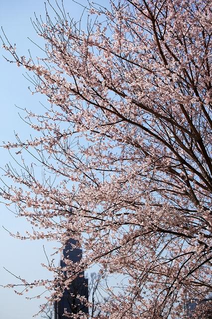 SKY130401 風に吹かれて、一斉に飛び散る花吹雪が一番好きである_d0288367_106131.jpg