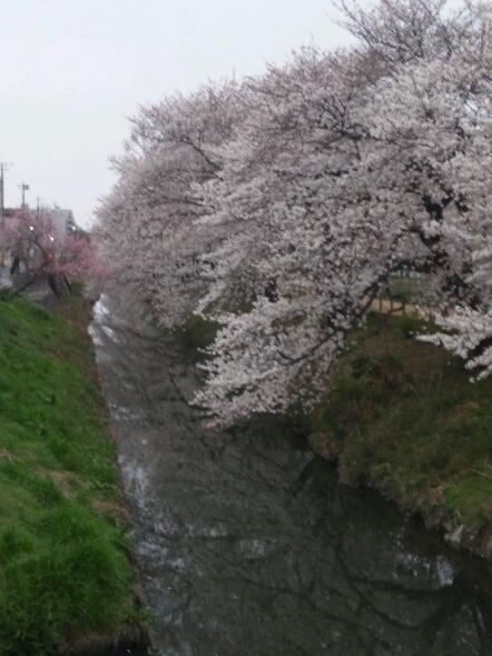 桜_a0078271_1820967.jpg