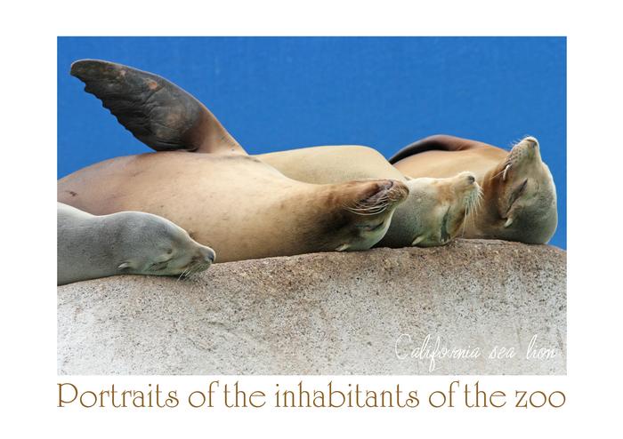 カルフォルニアアシカ:California sea lion_b0249597_783857.jpg