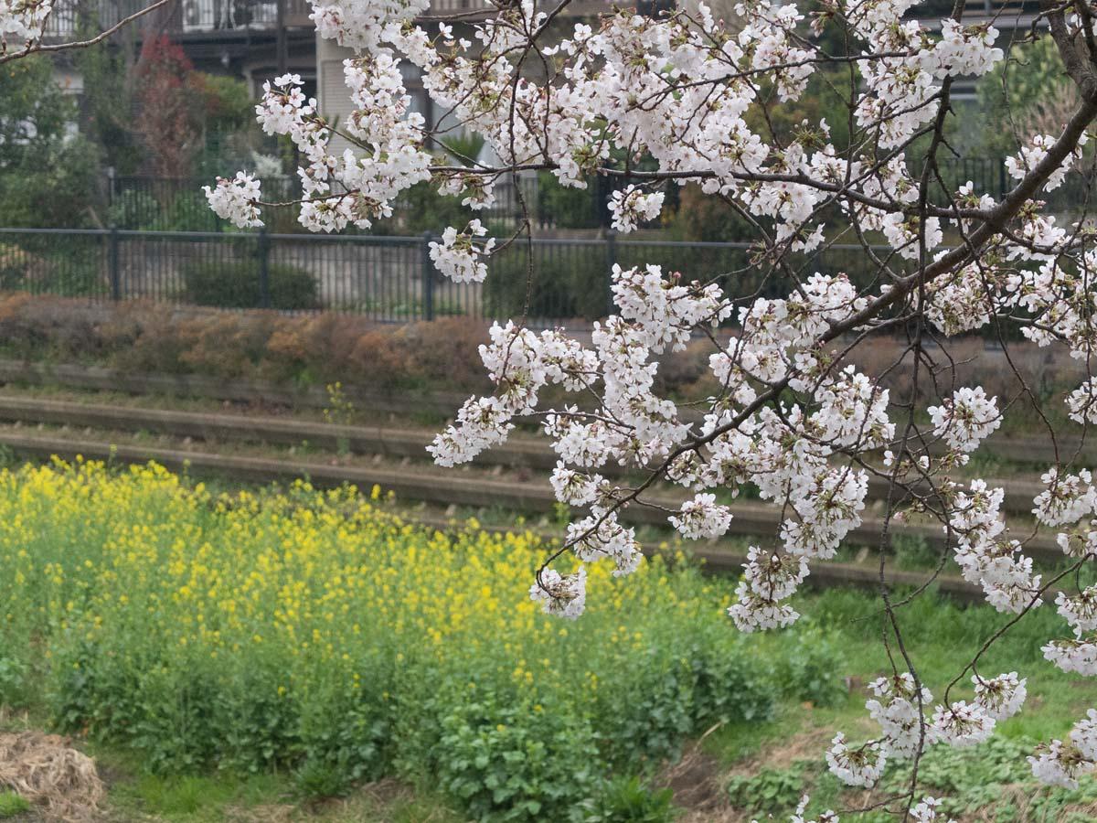桜が咲くと雨が降る。_a0271402_20201887.jpg