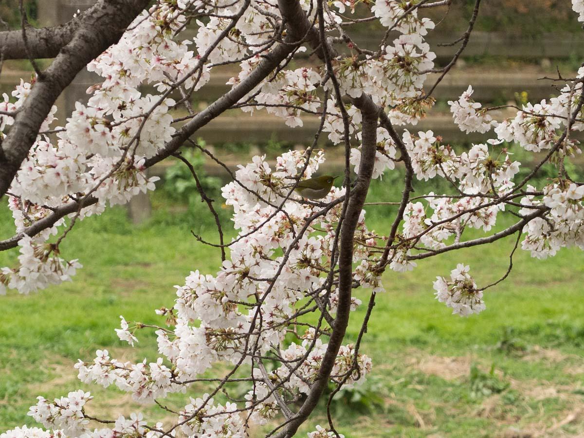 桜が咲くと雨が降る。_a0271402_20205092.jpg