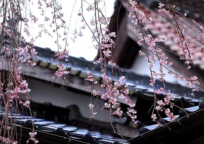 """福山 """"福泉坊の枝垂れ桜""""_a0140608_16421341.jpg"""