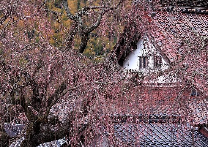 """福山 """"福泉坊の枝垂れ桜""""_a0140608_1643573.jpg"""