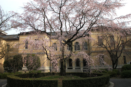 京都府庁旧本館 容保桜など_e0048413_21195410.jpg